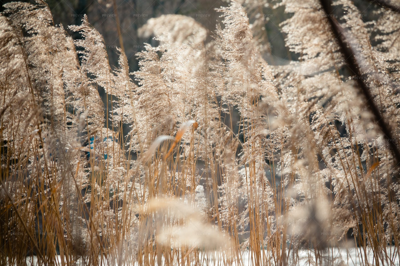 Dry Reeds On The Lake: Stock Photos