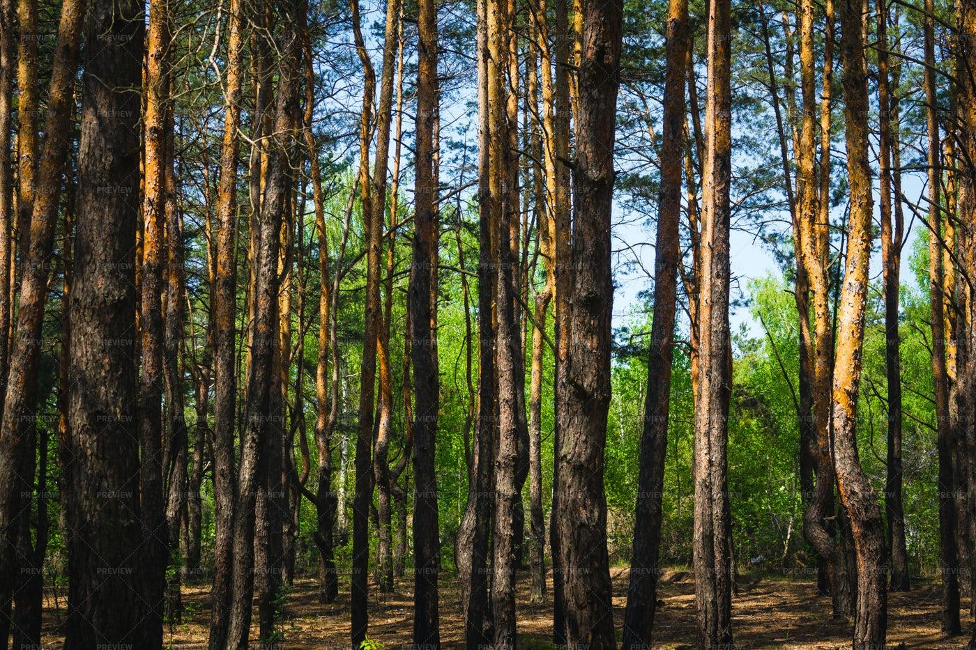Thin Pine Tree Trunks: Stock Photos