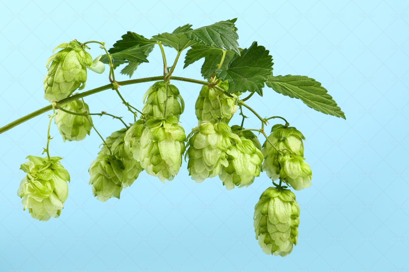 Green Hop Bine Branch: Stock Photos