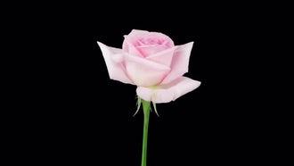 Opening Pink
