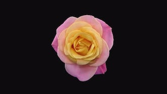 Dying Pink-Yellow