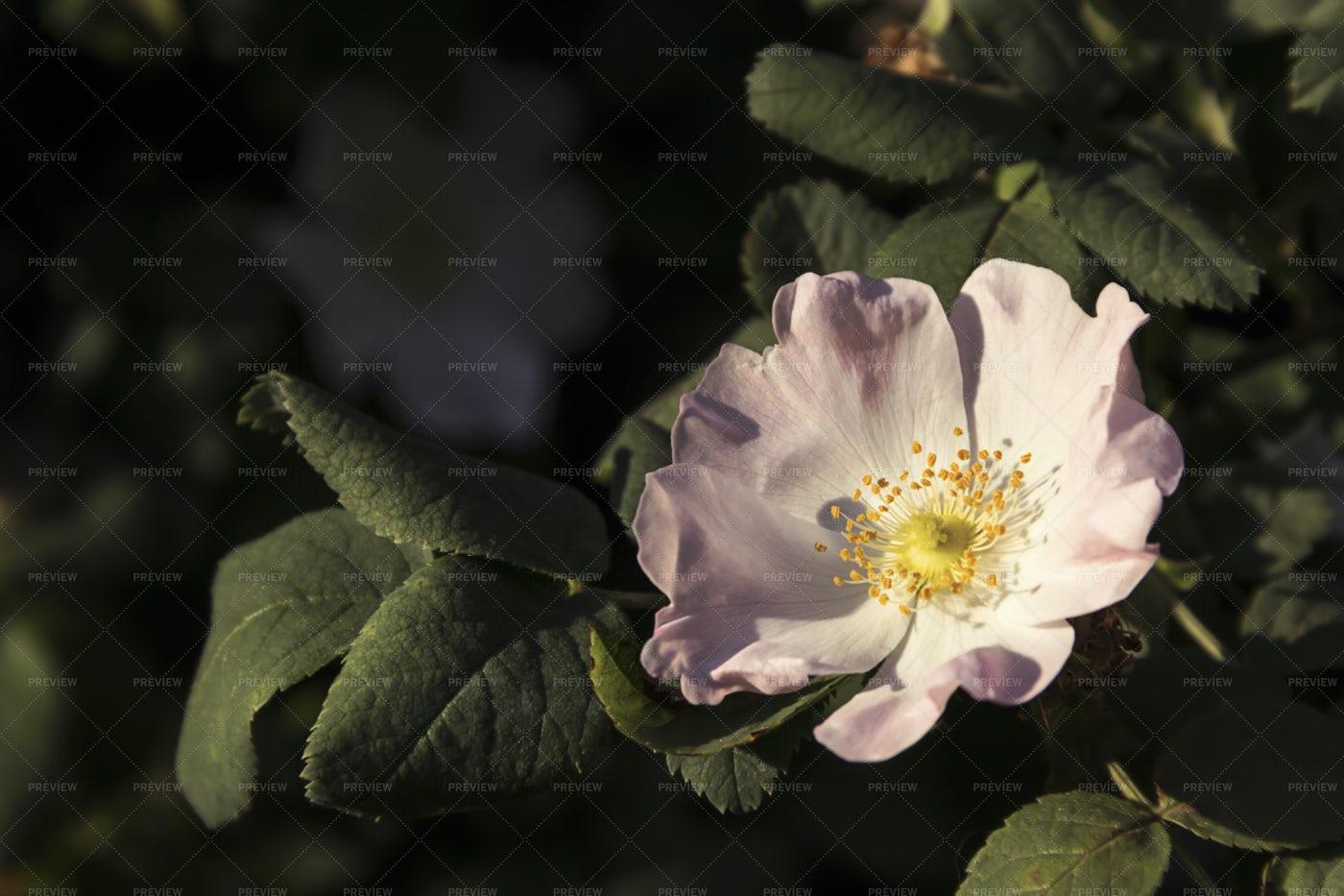 Flowers Of Dog-Rose: Stock Photos