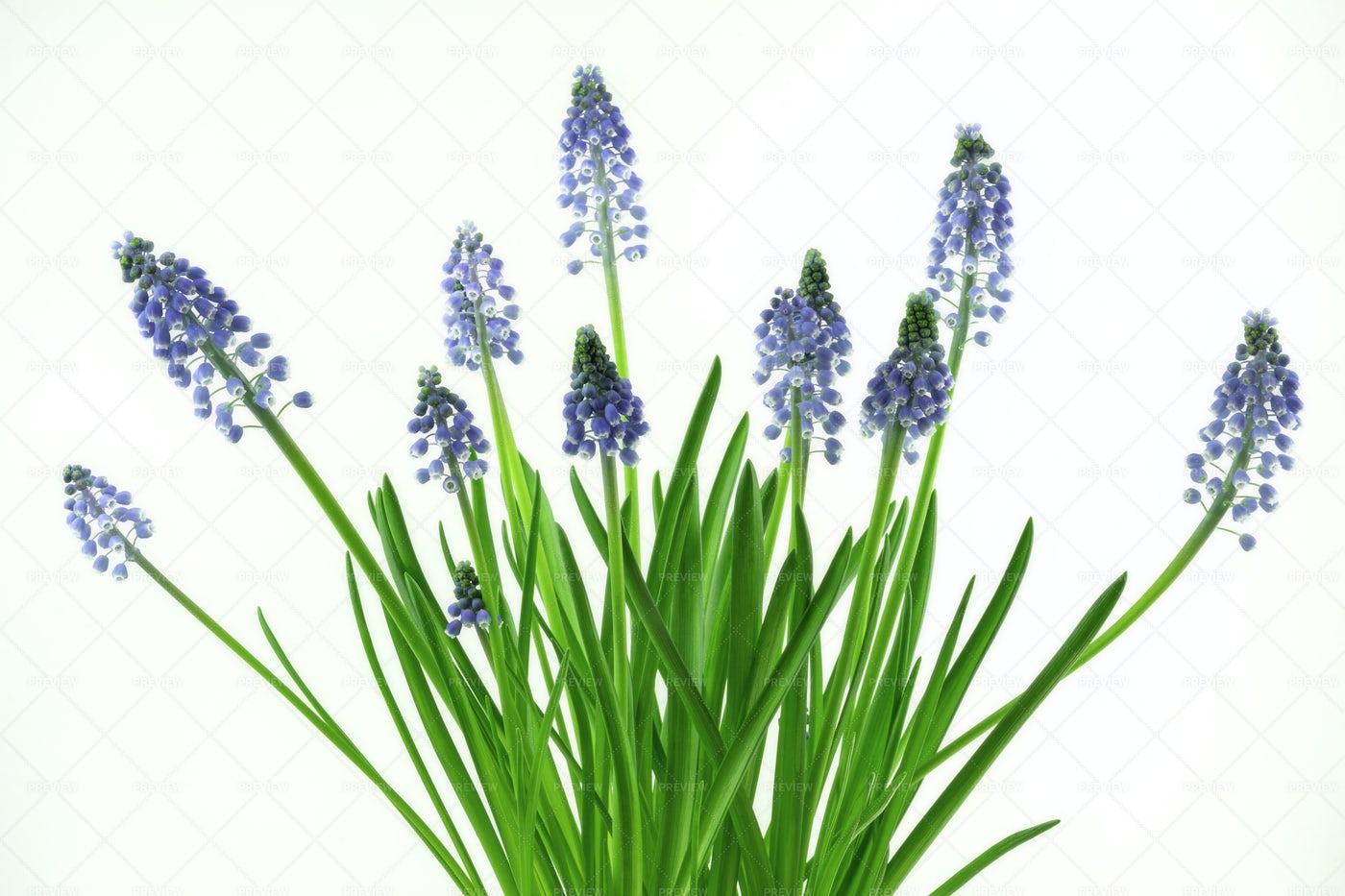 Muscari Flowers: Stock Photos