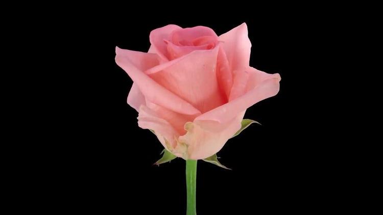 Pink Homerun Rose Time Lapse: Stock Video