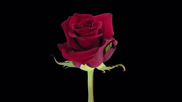 Red Happy Hour Rose: Stock Video
