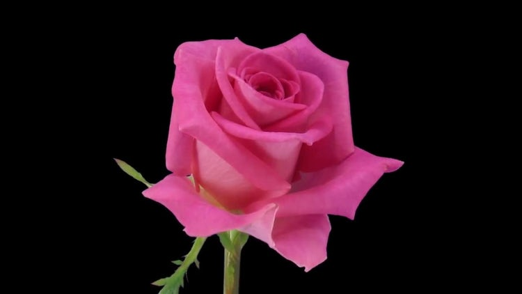Pink Attachea Rose Petals Open: Stock Video