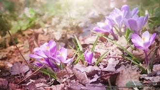 First Flowers Of Spring: Stock Video