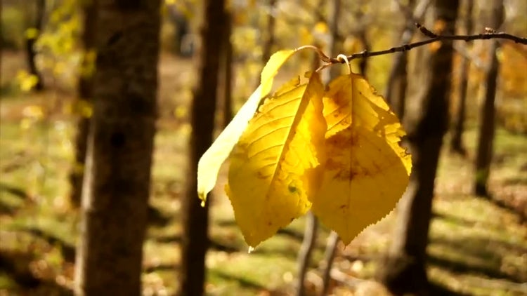 Fall Leaves : Stock Video