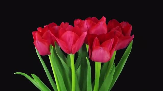 Red Tulips Bouquet Opens: Stock Video