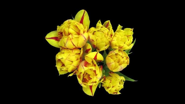 Tulips Opening In Vase: Stock Video
