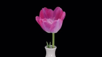 Opening Pink Tulip In Vase: Stock Video