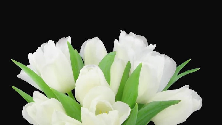 Opening White Tulips Bouquet: Stock Video