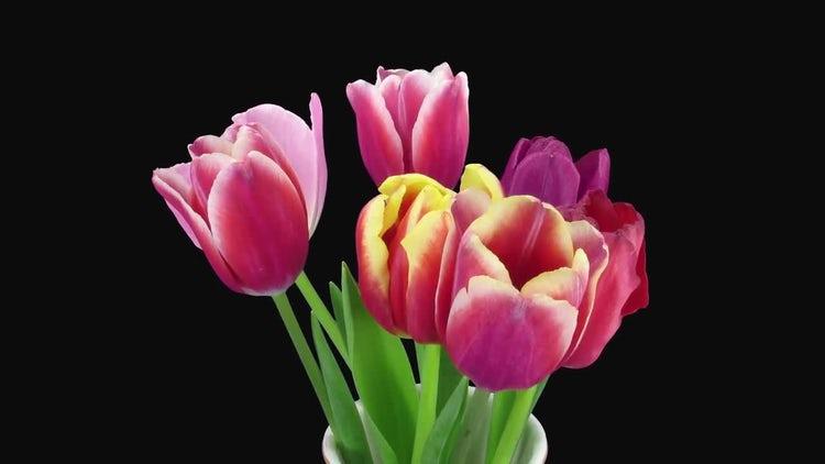 Mixed Tulips Open In Vase: Stock Video