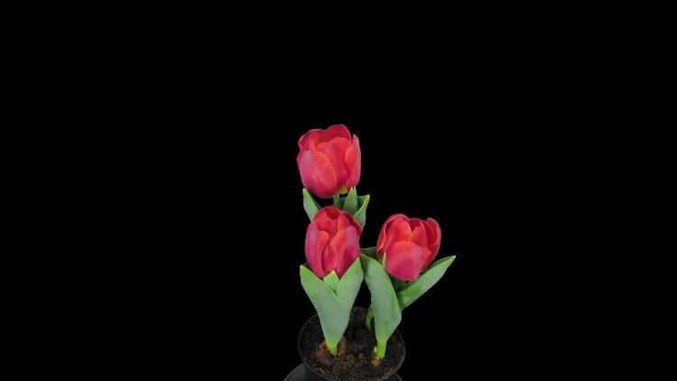 Red Tulips Open In Pot: Stock Video