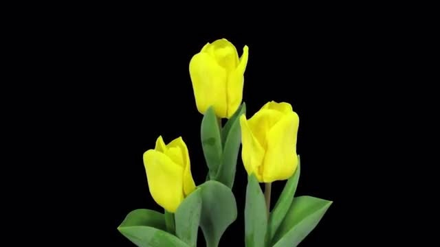 Growing Yellow Tulips In A Pot: Stock Video