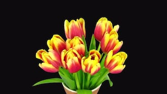 Red-Yellow Tulips Spring Out : Stock Video