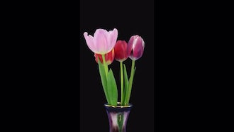 Mixed Color Tulips In Vase: Stock Video
