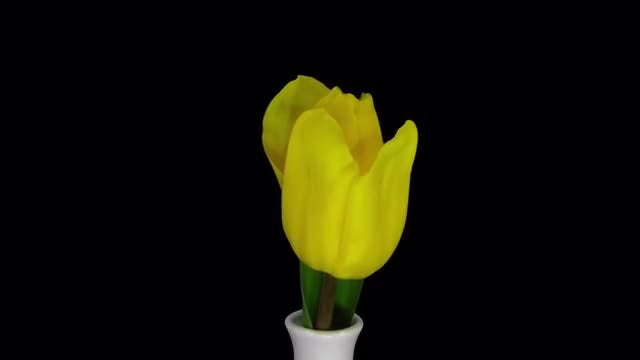 Yellow Tulip Springs Out Of Vase: Stock Video