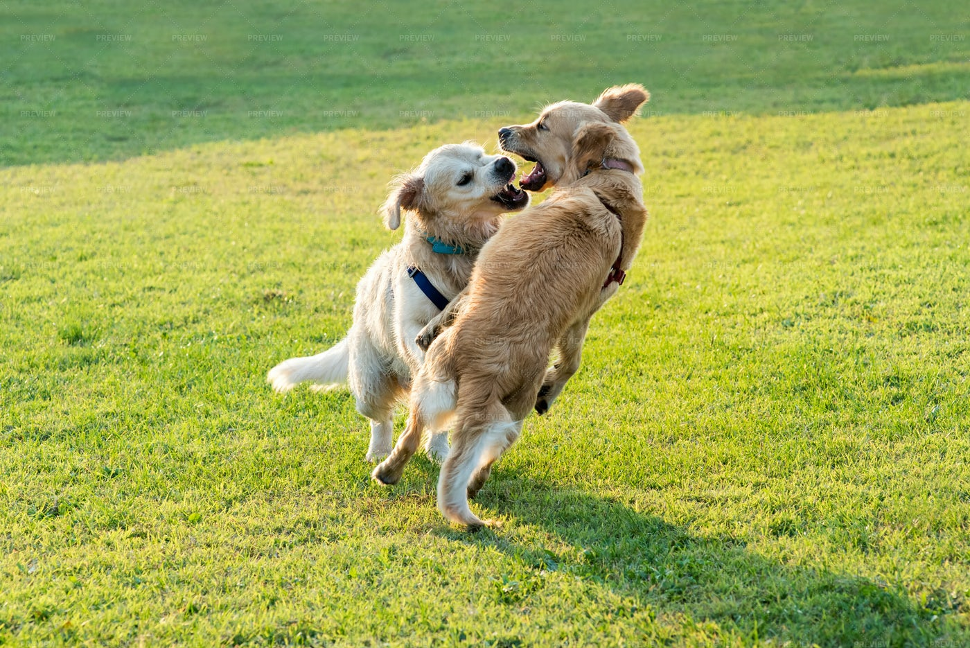 Golden Retriever Dogs Playing: Stock Photos