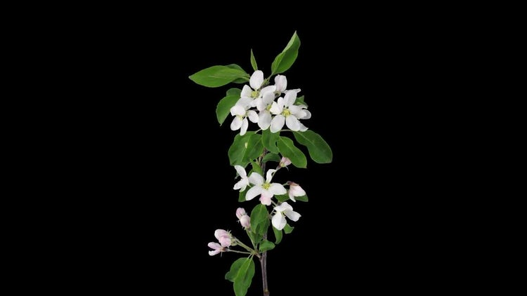 Apple Branch Rotating Opening Blooming: Stock Video