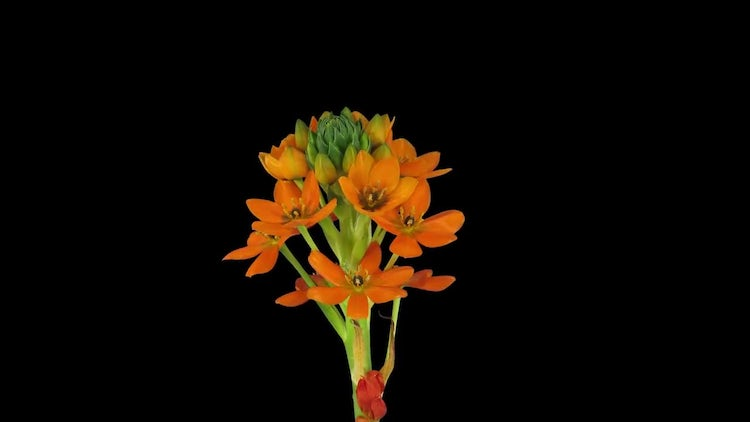 Orange African Lily Growing Opening: Stock Video