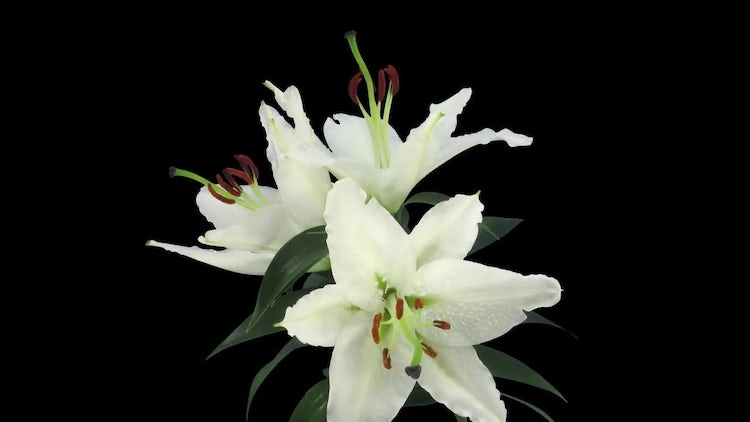 3 White Stargazer Lilies Open: Stock Video