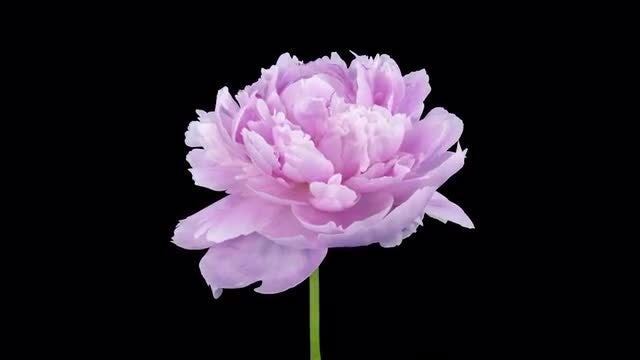 Opening Of Lilac Peony Petals: Stock Video