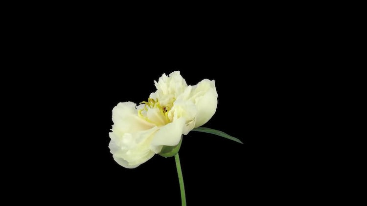 Blooming And Wilting White Peony: Stock Video