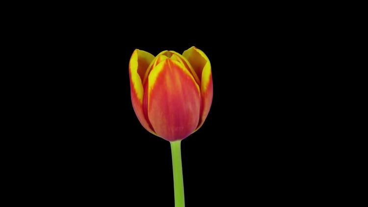 Growing, Rotating Red-Yellow Tulip: Stock Video