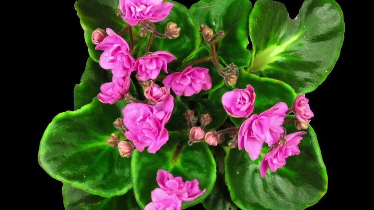 Pink African Violet Flowers Open: Stock Video