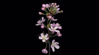 Pink Sakura Blossoms Open: Stock Video