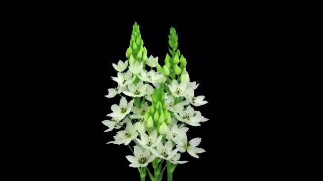 Star Of Bethlehem Flowers Open: Stock Video