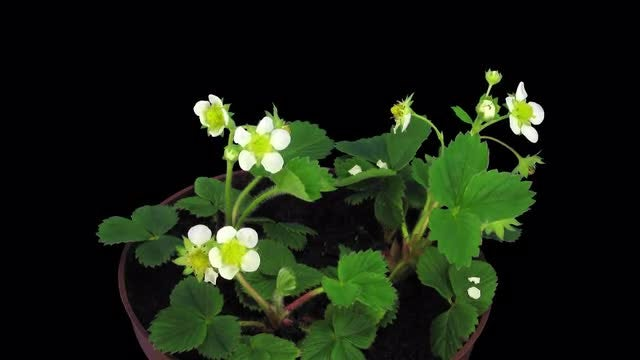 Growing And Blooming Strawberry: Stock Video