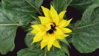 Growing And Blooming Sunflower, Top View: Stock Video