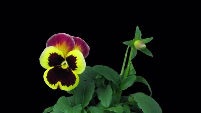 Growing Violet Flowers: Stock Video