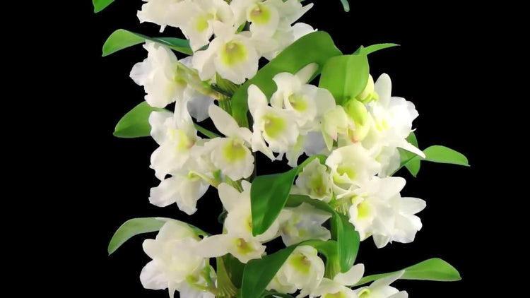 Orchid Opens - Nobile Dendrobium: Stock Video