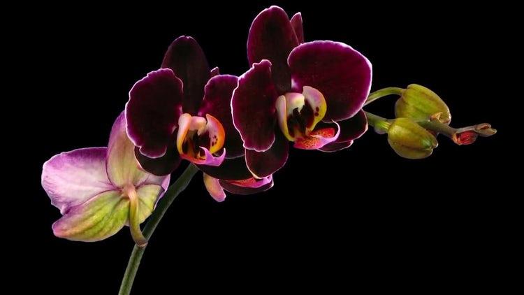Opening Purple Phalaenopsis Orchids: Stock Video