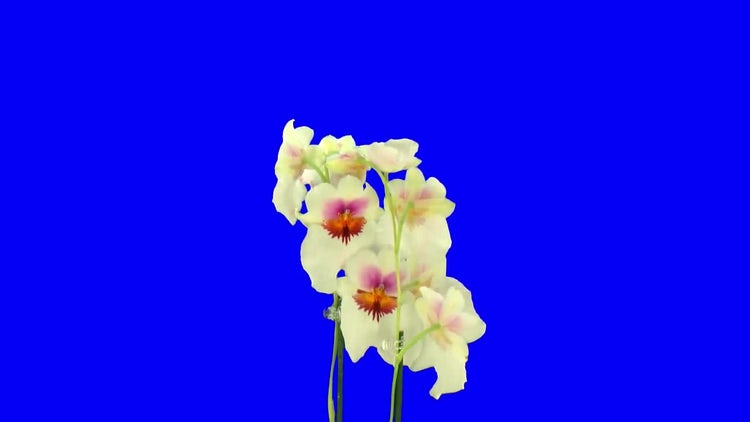 Rotating Seamless Looping Orchid Flower: Stock Video