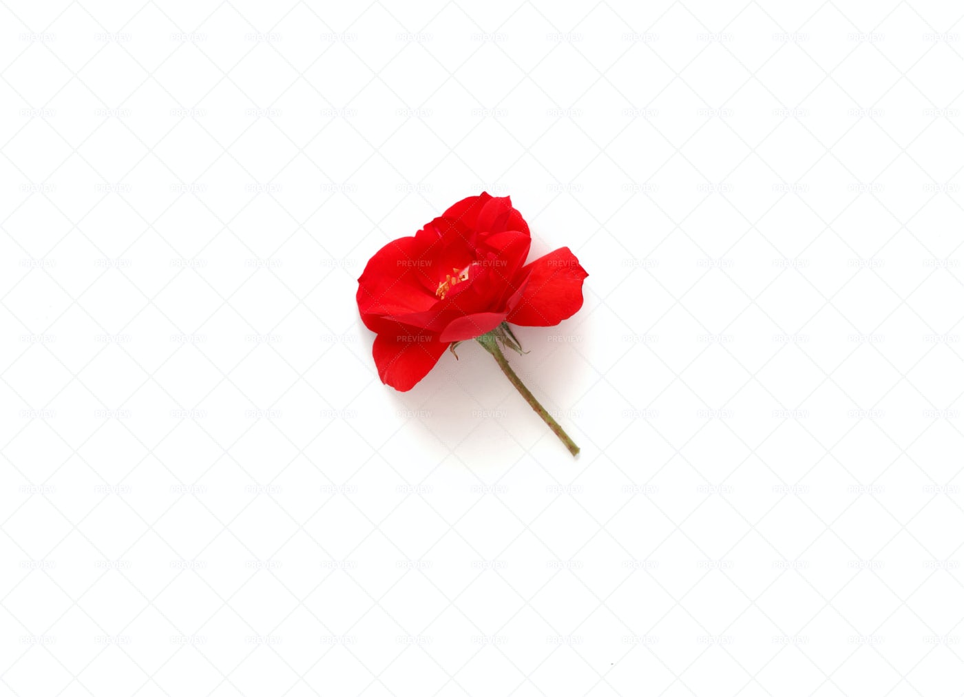 Red Rose On White: Stock Photos