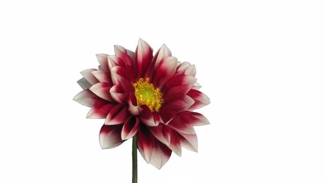 Red Dahlia Flower Opens: Stock Video