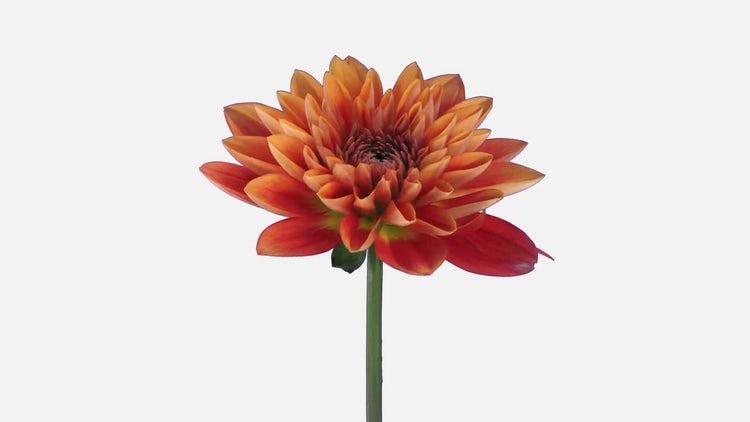 Opening Orange Dahlia Flower: Stock Video