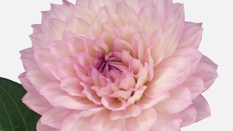 Growing And Blooming Pink Dahlia Flower: Stock Video