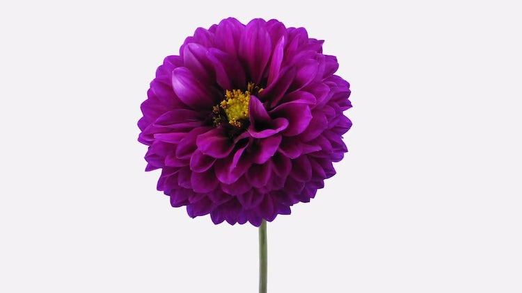 Blooming Purple Dahlia Flower: Stock Video