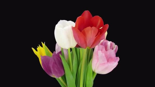 Opening Colorful Tulips Bouquet: Stock Video
