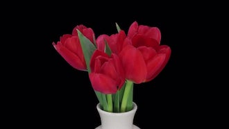 Opening Red Tulips In A Vase: Stock Video
