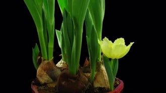 Opening Little Yellow Tulip: Stock Video