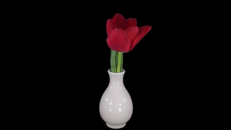 Opening Red Tulip In A Vase: Stock Video