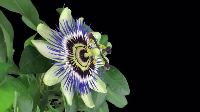 Opening Passiflora (Passion) Flower: Stock Video