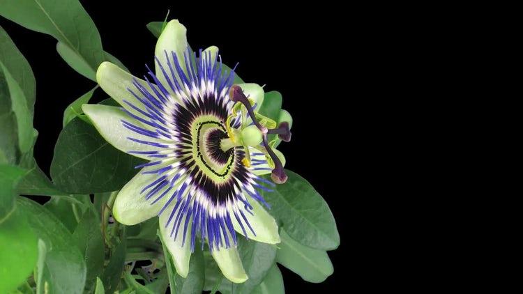 Opening Passiflora (Passion) Flower: Stock Video