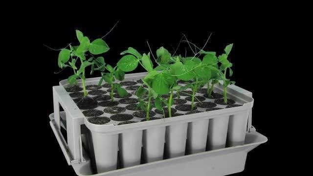 Growing Pea Vegetables: Stock Video